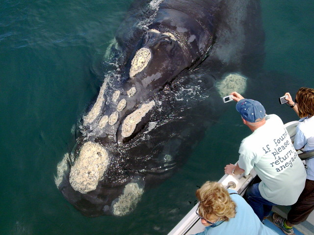 Hermanus Best Close Encounter of Southern Right Whale