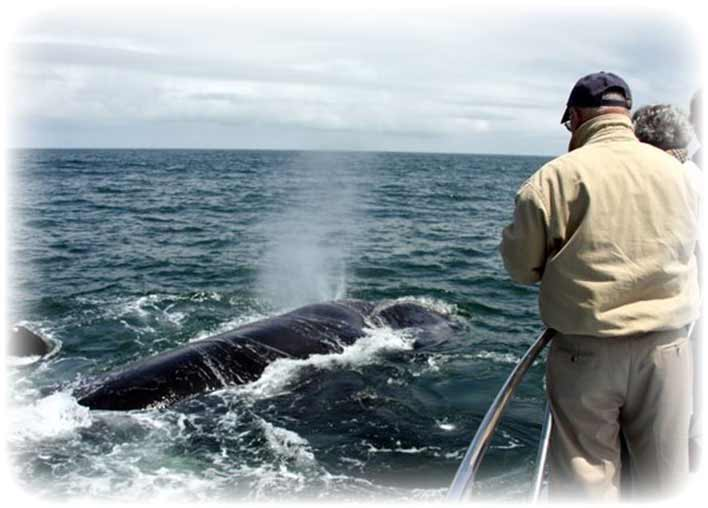 V-Shape Spray of Souther Right Whale