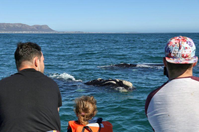 Whale watching Hermanus season - June to December