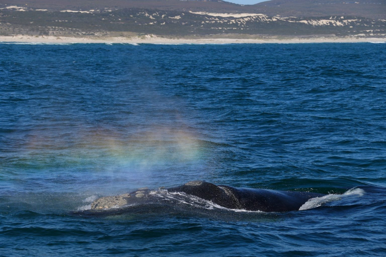 Whale watching Hermanus falls within the months of winter and spring