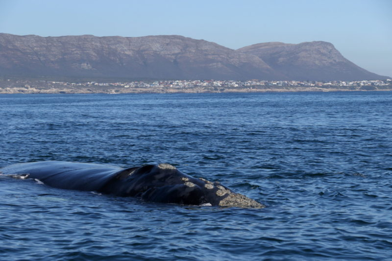 Whale Watching Hermanus - Southern Right Whale